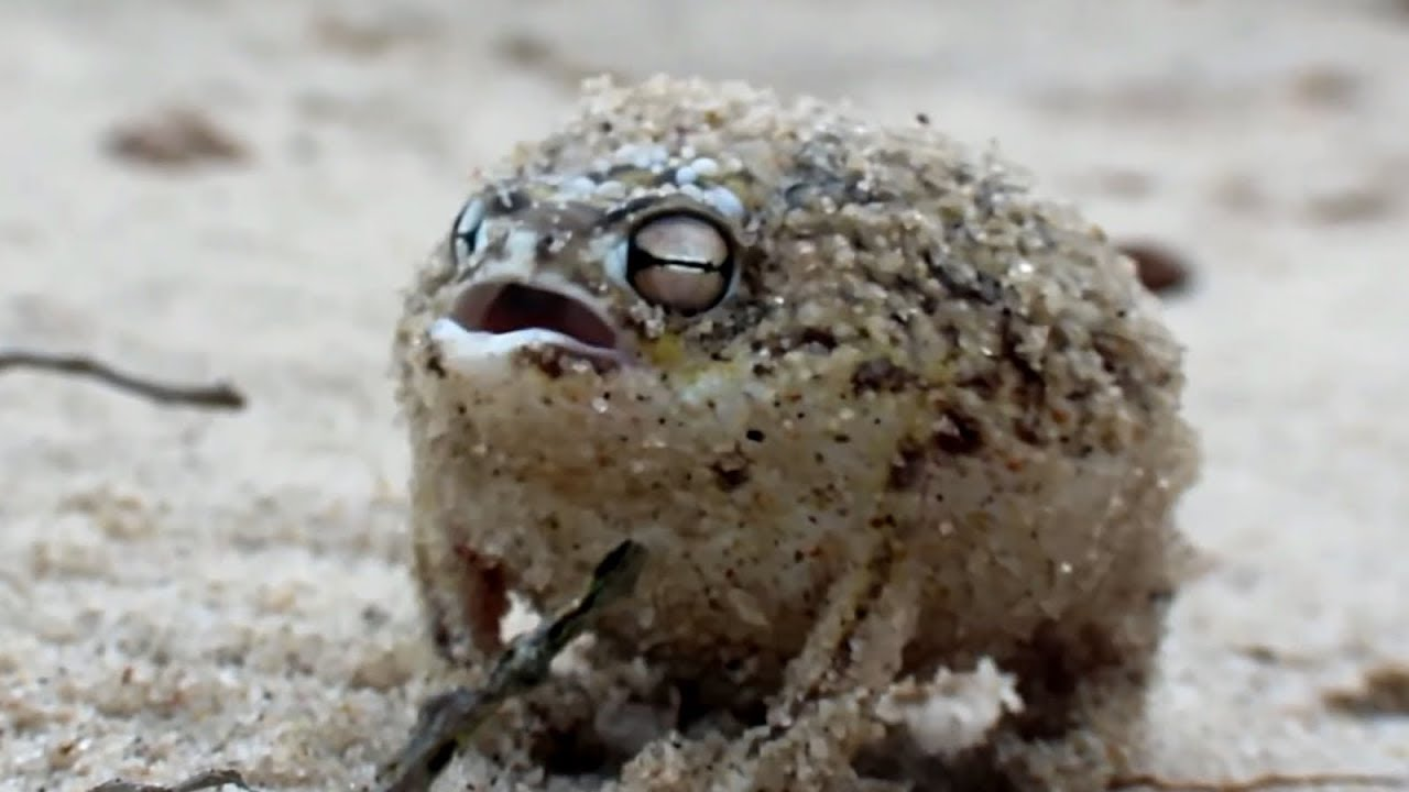 Angry Rapping Frog Ting Goes Skrrra Youtube