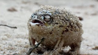 Angry Rapping Frog Ting Goes Skrrra