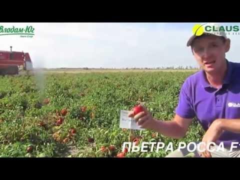 Удачные томаты: сорт Дубок