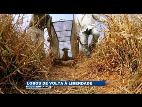 Cerca de 150 Lobos-Guará vivem na Serra da Canastra