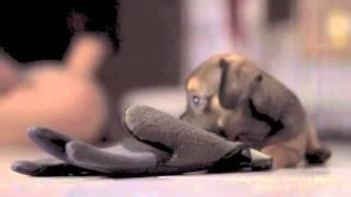 Pug Dachshund Puppy Vs Blue Glove