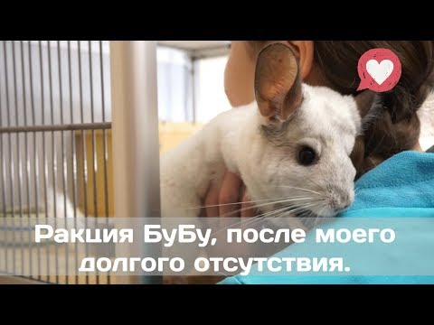 Видео: Реакция БуБу, после моего долгого отсутствия, привязываются ли шиншиллы к хозяину???