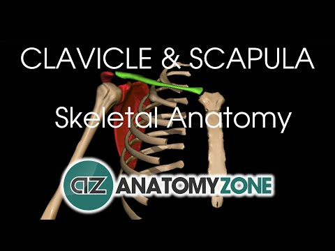 Clavicle and Scapula - Shoulder Girdle - Anatomy Tutorial