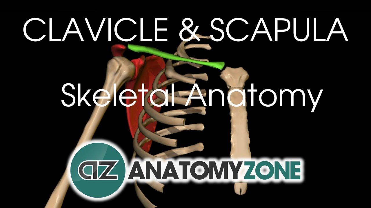 medium resolution of clavicle and scapula shoulder girdle anatomy tutorial