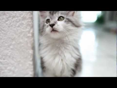 Funny Maine Coon Baby Cats