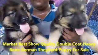 Double Coat Heavy Bone Chion Blood Line Cute German Shepherd Puppy For Sale