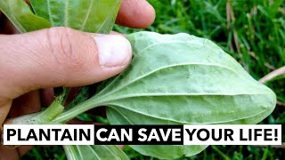 Wild Edibles with Sergei Boutenko: Plantain–Plantago spp. | This Plant Can Save Your Life! screenshot 3