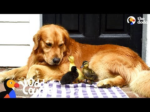 Doc Reno - Dog is foster parent to a bunch of duckings