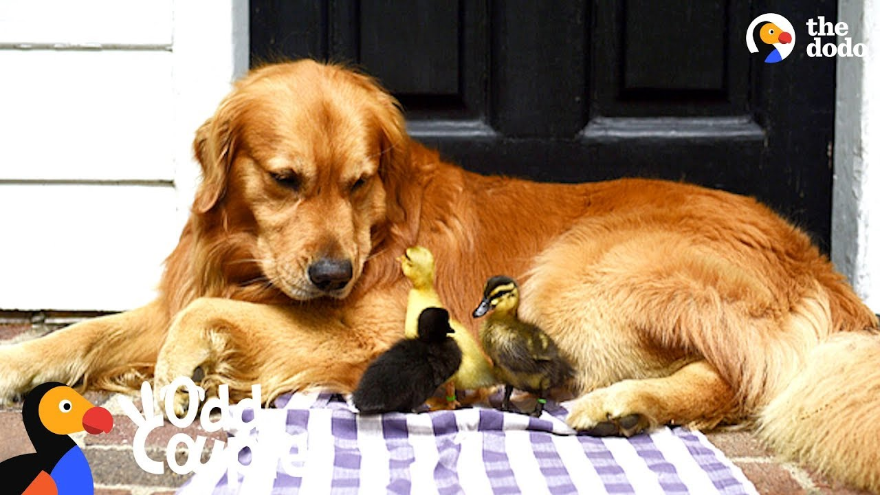 Dog Is Mom To A Family Of Ducklings