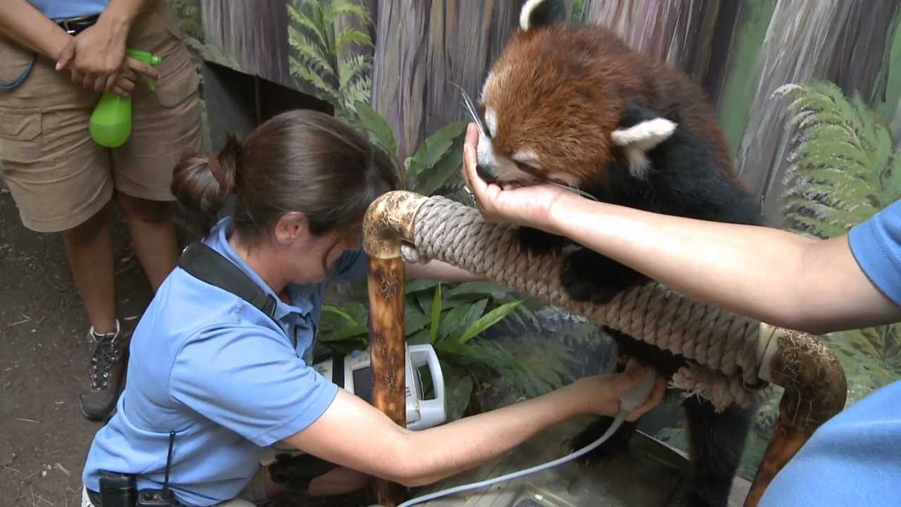 Red Panda Training And Ultrasound Youtube