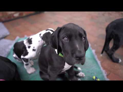 FIRST MONTH WITH GREAT DANE PUPPY