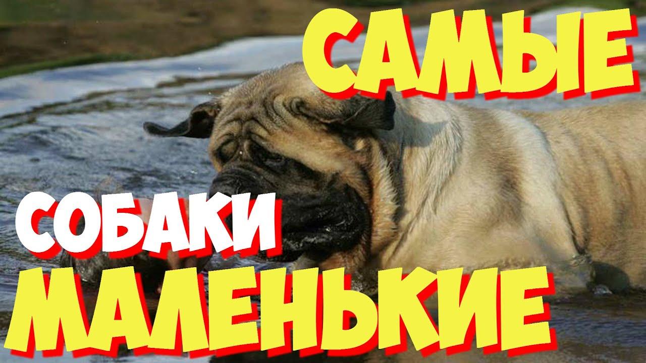 Самые маленькие породы собак в мире | ТОП 10 самых маленьких пород собак в мире