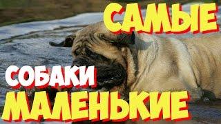 Самые маленькие породы собак в мире | ТОП 10 самых маленьких пород собак в мире(, 2015-05-01T07:17:08.000Z)