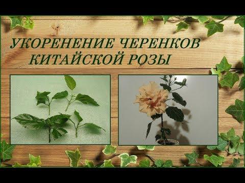 Вопрос: Выделения у черешков листьев гибискуса – что это (см.)?