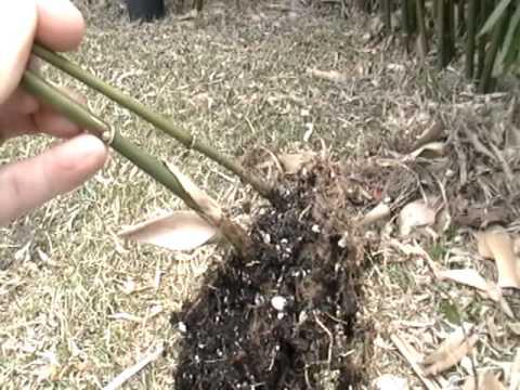 Propagating Bamboo from Rhizomes