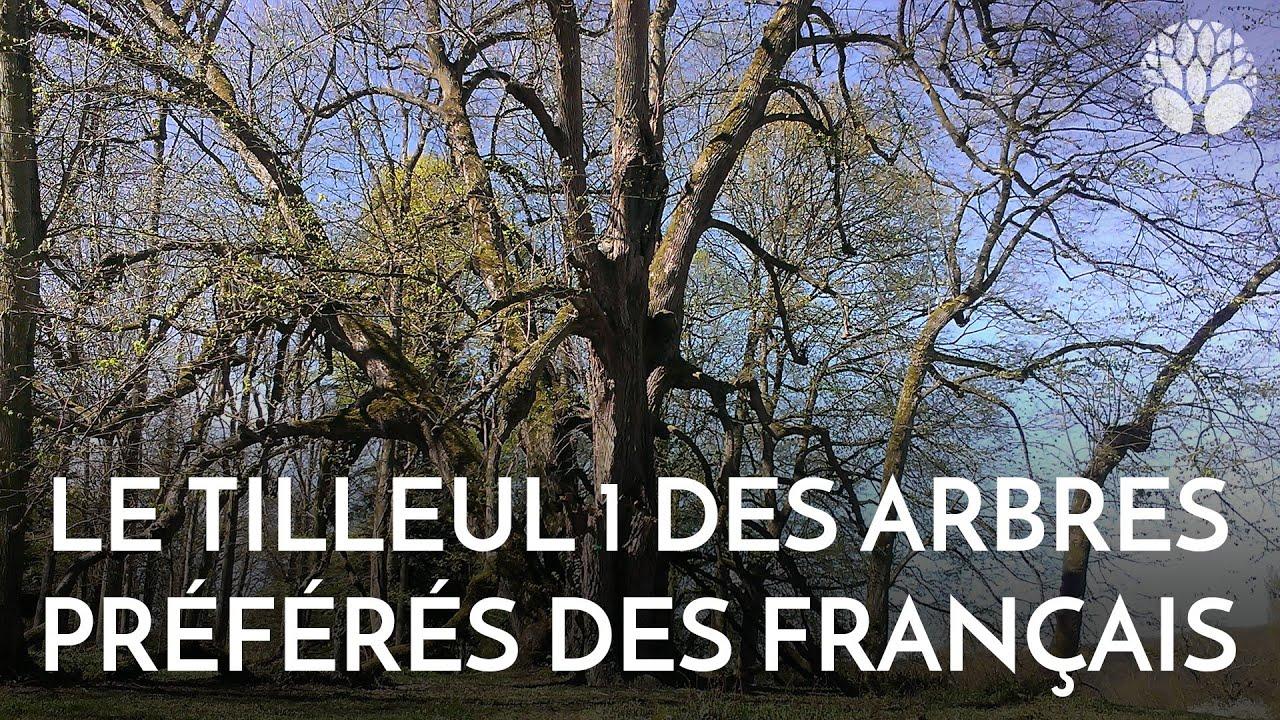 Le tilleul, un des arbres préférés des Français