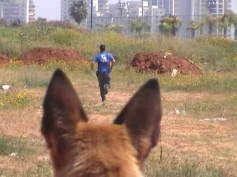 מקורי אילוף כלבים ,למכירה רועה בלגי מלינואה מאולפים מבית LADOG - YouTube PO-56