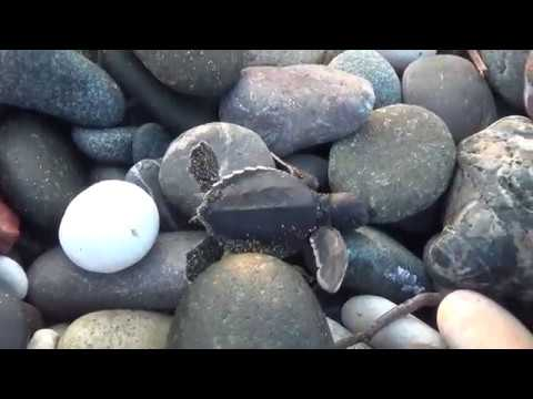İkibin Yavru Caretta Denizle Buluştu