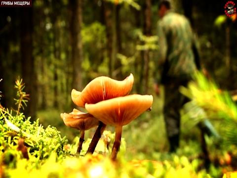 Ложные опята, которые все считают ядовитыми -  отличные съедобные грибы, www.grib.tv