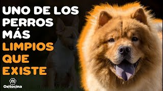 CHOW CHOW: 9 COSAS que debes saber