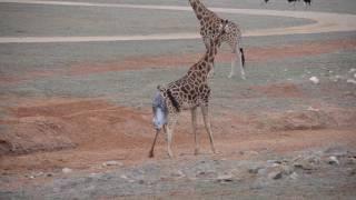 Giraffe Birth at Monarto Zoo