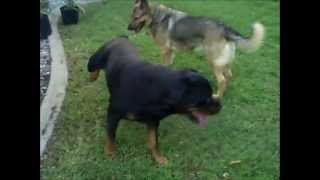 German Shepherd & Rottweiler