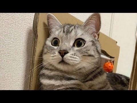 The Beautiful American Shorthair Cat