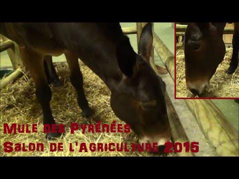 Mule des Pyrénées - (hybrides!) - Salon de l
