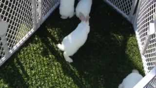 meat rabbits in oz prt7