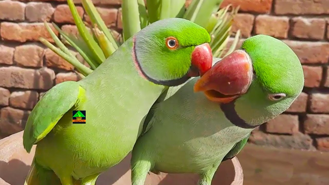 Two Super Cute Green Parrots Having Fun With Each Other || Mitthu Also Speaking With Mirror
