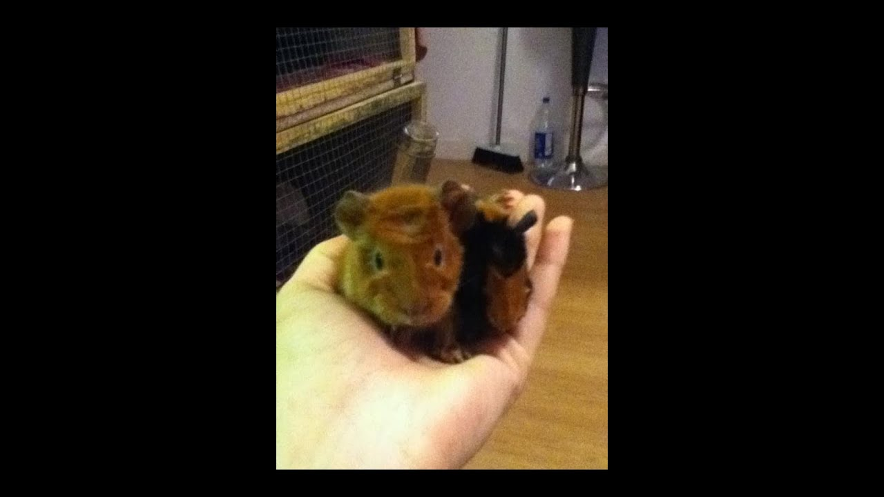 Baby guinea pigs - YouTube