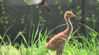 Louisiana's Whooping Cranes Make Small Comeback