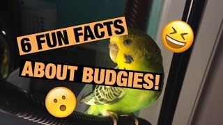 6 Fun Facts About Budgies!