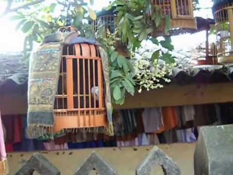 Chim mi hót, choi ở chợ Mường Khương-Lào Cai