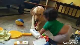 labrador dog tarikere