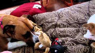 Corgi Puppy Plays With Boxer-terrier Mix