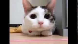 Video kucing joget asli lucu download MP3, 3GP, MP4, WEBM, AVI, FLV Desember 2017
