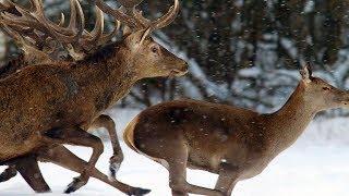 Благородные олени зимой. Красота бегущего зверя.