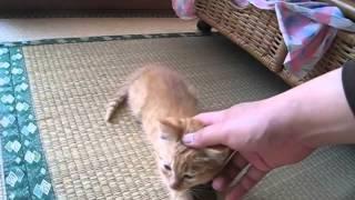【子猫】飼い主のひざの上乗って甘えるかわいい子猫。