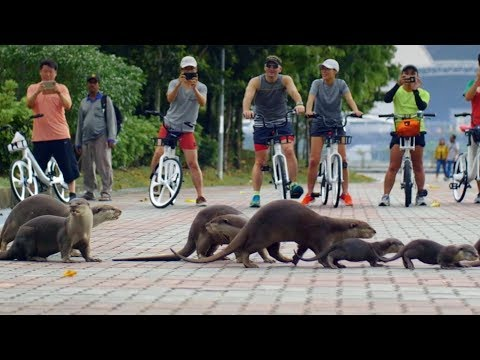 The Otters of Singapore | Cities: Natures New Wild | BBC Earth