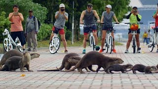 The Otters of Singapore | Cities: Nature's New Wild | BBC Earth
