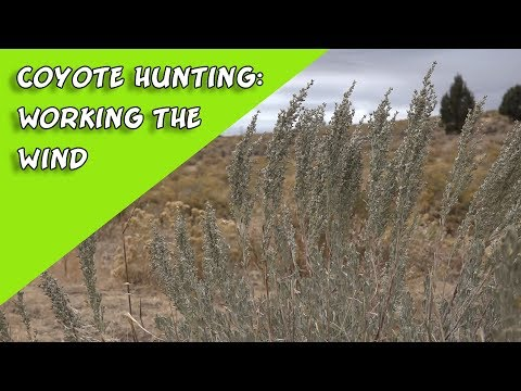 Coyote Hunting: How To Work The Wind