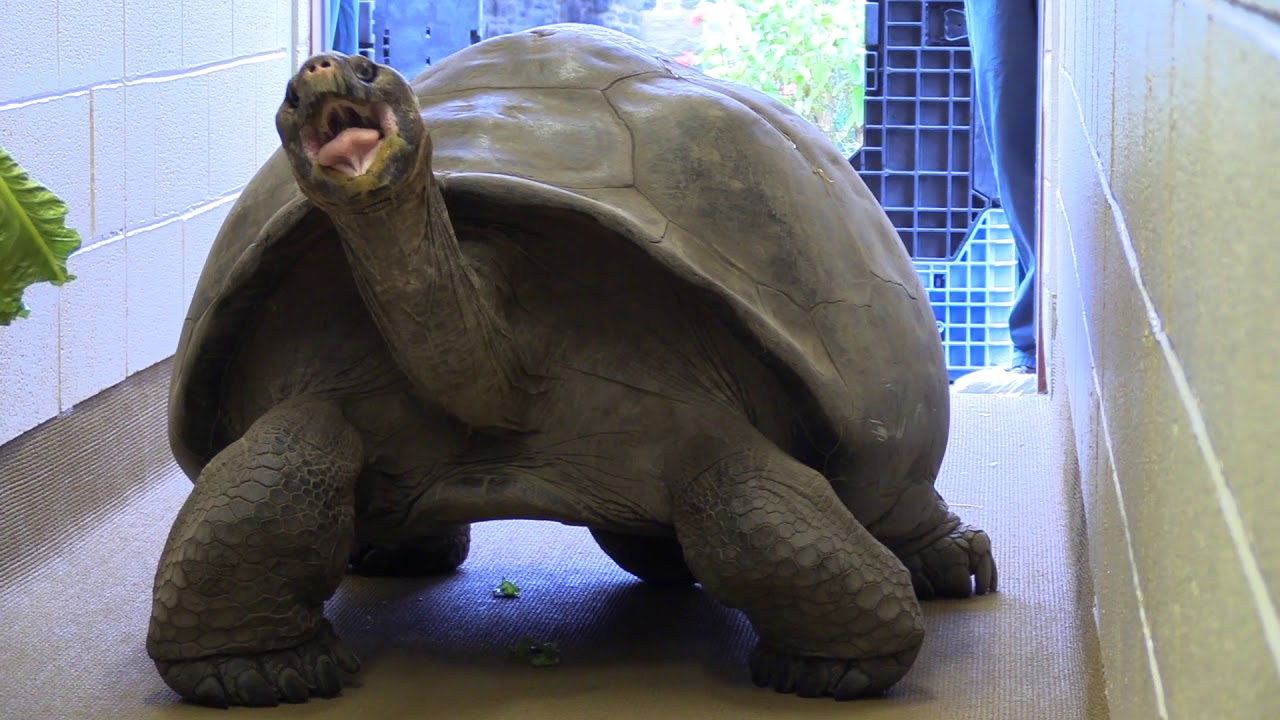 Download Meet Abrazzo the Galapagos Tortoise