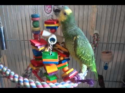 Amazon parrot playing with her new toy