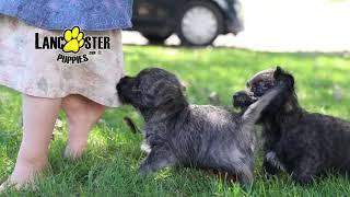 Cairn Terrier Mix Puppies