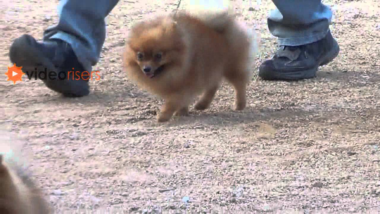 Pomeranian Dog The Winner In All Breeds Dog Show Walking Youtube