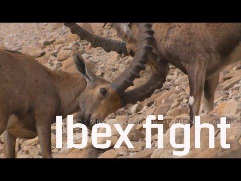 Nubian Ibex Fighting, Ein Gedi Israel יעלים בדו קרב , עין גדי , ים המלח