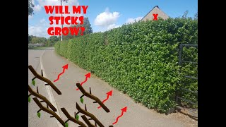 Gambar cover Planting Privet Hedge Plants 2019 (from DirectGardening.com)