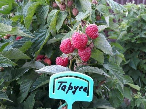 ТАРУСА  -  малина, описание сорта | подворье | описание | ягодное | таруса | малины | малина | купить | дерево | сорта | сорт