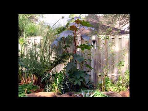 Клещевина: посадка и должный уход, выращивание растения из